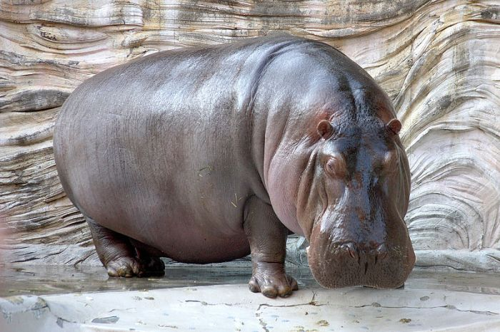 Swallowed-By-Hippo