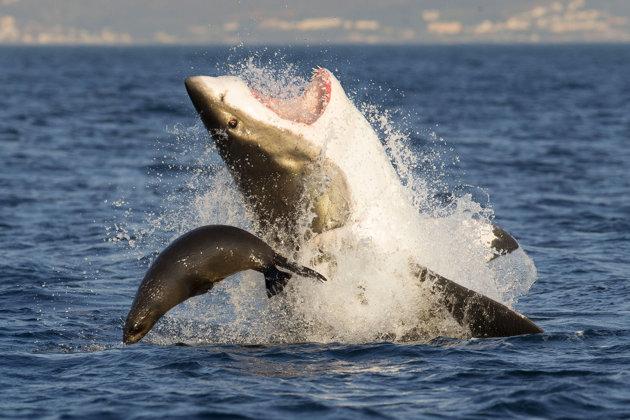 shark-and-seal